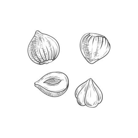 Nut of hazel tree, cobnut or hazelnut isolated sketch. Vector peeled filbert nuts
