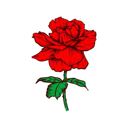 Red rose flower isolated flowering plant sketch. Vector blooming bud, floral bloom
