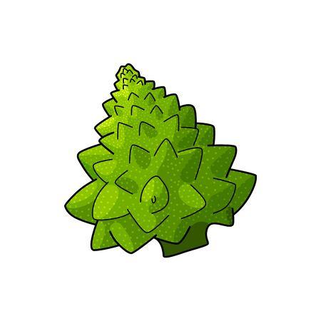 Green Romanesco cauliflower isolated Roman cauliflower. Vector Broccolo Romanesque edible flower bud of Brassica Stock Illustratie