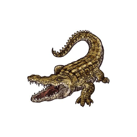 Wild crocodile with open mouth isolated american alligator.