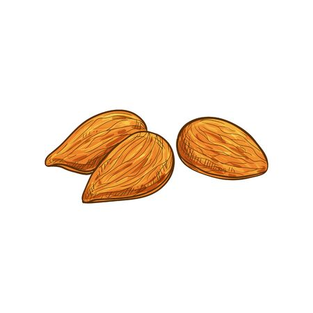 Edible seed of almond nut isolated sketch. Vector shelled drupes of fruits