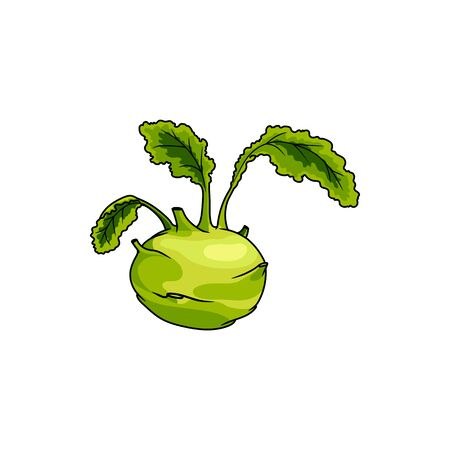 Kohlrabi isolated cabbage with turnip-shaped edible stem. Vector green vegetable food