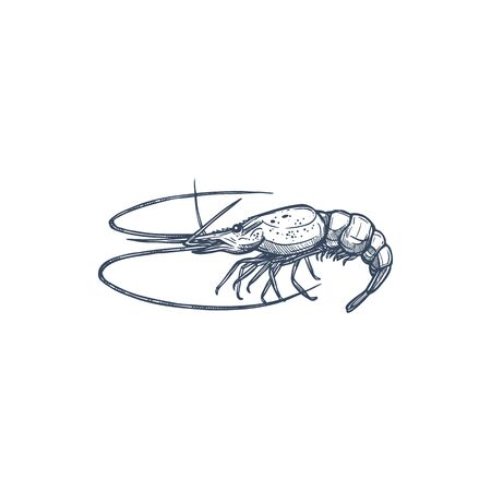 Shrimp shellfish crustaceans isolated prawn sketch. Vector underwater animal, monochrome raw or cooked seafood