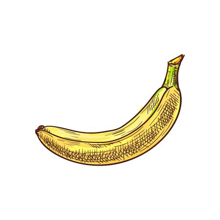 Banana isolated exotic yellow fruit sketch. Vector tropical food, whole vegetarian dessert