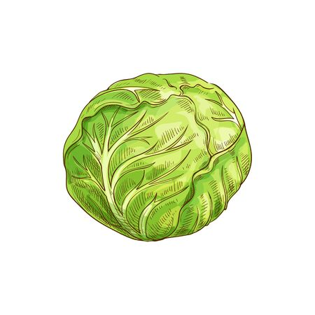 Green leafy cabbage head isolated vegetable. Vector headed cabbage, raw vegetarian food Illustration