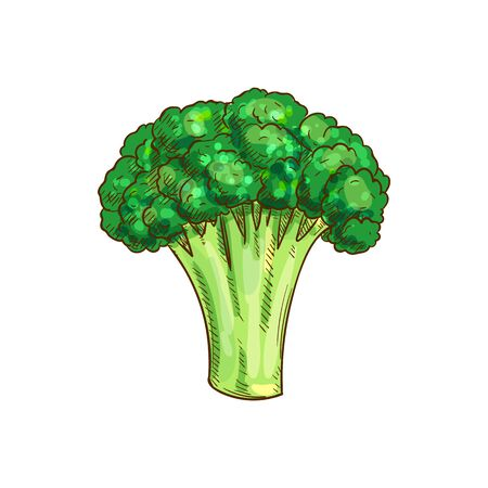 Broccoli isolated green vegetarian food sketch. Vector green cabbage, organic raw vegetable