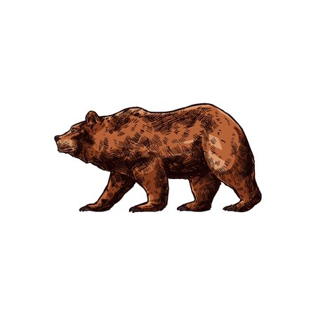 Russian brown bear isolated animal sketch. Vector side view of wild ursus, hunting sport mascot