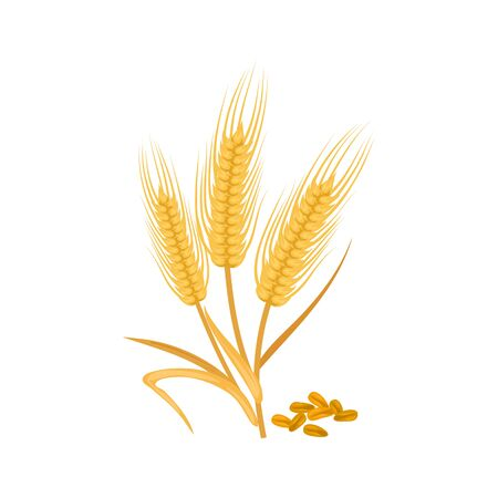 Golden ears of wheat isolated cereal grains. Vector barley or malt, rye spikes, bakery flour ingredient