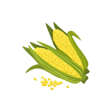 Corn cobs and maize grains isolated. Vector sweetcorn corncobs, vegetarian food
