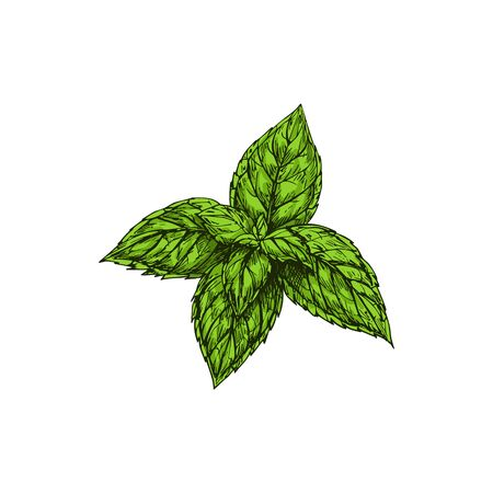 Green peppermint sketch isolated culinary herb. Vector hybrid mint, cross of watermint and spearmint