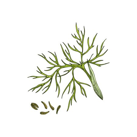 Green cumin branch and caraway seeds isolated culinary herb. Vector food seasoning, organic plant