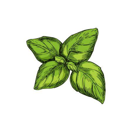 Green basil isolated kitchen herb. Vector aroma plant, holy basilicum aromatic seasoning Ilustracja
