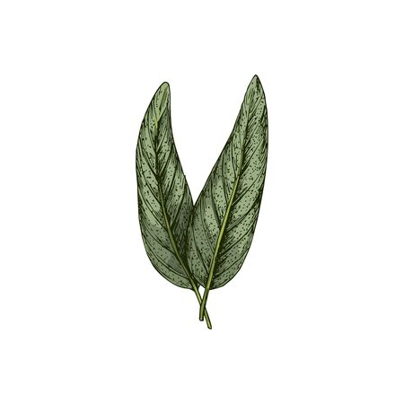 Salvia or sage leaves isolated green culinary herb sketch. Vector Common Salvia officinalis seasoning condiment
