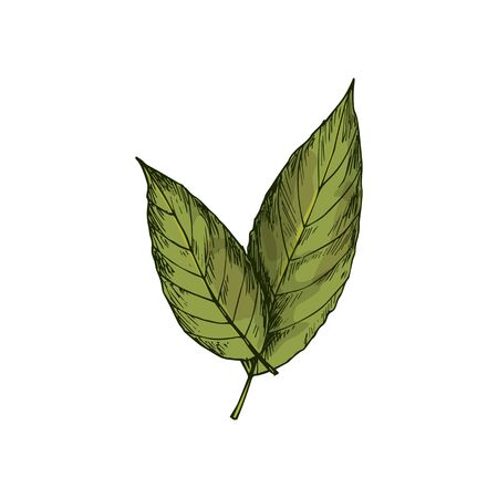 Bay leaves isolated green culinary herb sketch. Vector laurel leaf natural condiment, herbal seasoning Ilustracja