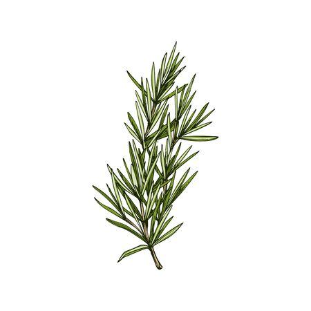 Rosemary evergreen Salvia rosmarinus isolated sketch. Vector perennial herb, culinary herb condiment Vettoriali