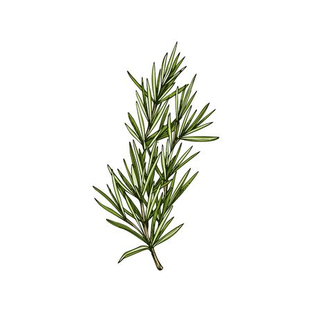 Rosemary evergreen Salvia rosmarinus isolated sketch. Vector perennial herb, culinary herb condiment
