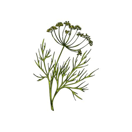 Dill or wild fennel branch isolated sketch. Vector green aromatic flavorful stem, culinary herb
