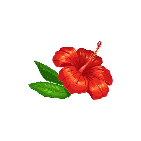 Big red hibiscus flower with green leaves isolated Chinese rose. Vector rose mallow, sharon tropical hibiscus. Red tea ingredient, bissap or agua de jamaica, Orhul herbal drink, sorrel karkade