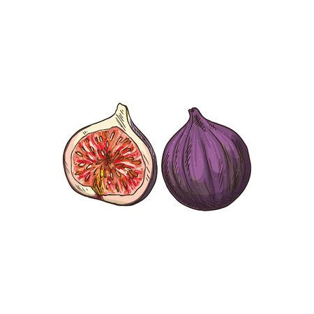 Common fig fruit isolated sketch. Vector tropical common fig whole and half, Ficus carica fresh raw fruit. Cluster or Sycamore fig species, exotic asian food dessert, cross section with pink flesh