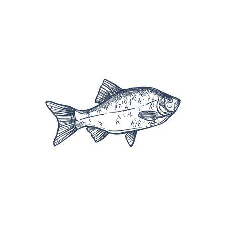 Crucian isolated Carassius carassius monochrome sketch. Vector common carp family Cyprinidae, fishing sport trophy. Prussian carp Carassius gibelio, hand drawn goldfish, habitat lakes, ponds, rivers