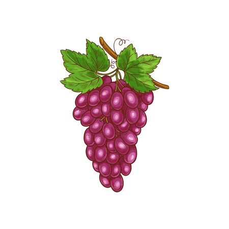 Bunch of pink or purple grape isolated realistic hand drawn sketch. Vector ripe red berries with green leaves, muscat cardinal grapes on cluster. Wine or grapevine ingredient, vegetarian food dessert