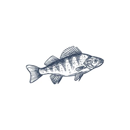 Perch freshwater gamefish family Percidae, common Perca isolated monochrome sketch. Vector yellow perch Perca flavescens, European and Balkhash freshwater animal, found in ponds, lakes, streams