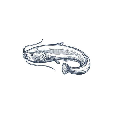 Sheatfish isolated common catfish monochrome sketch. Vector Siluridae species, ray-finished catfishes order Siluriformes or Nematognath. Mekong giant catfish, Candiru toothpick fish with whiskers