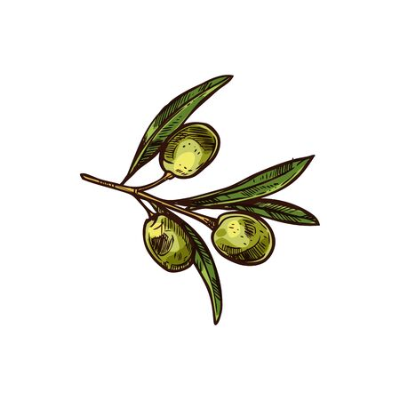 Olives on branch with leaves isolated hand drawn sketch. Vector mediterranean veggies, extra virgin oil ingredient, leaf and green fruit. Olea europaea, semi-ripe or turning-color European olive