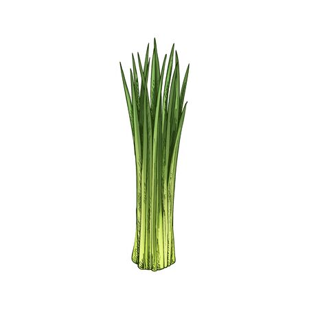 Chives, spring onion isolated green plant. Vector raw organic vegetable, shallot leaves in bunch. Flavoring vegetarian food, aromatic spicy chive greens, young leek hand drawn sketch, veggie food