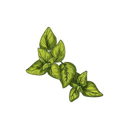 Marjoram isolated culinary herb sketch. Vector green veggies, sweet marjoram perennial plant, fresh greens. Knotted pot Origanum majorana hand drawn sketch, Cretan oregano, Hardy French spice Vettoriali