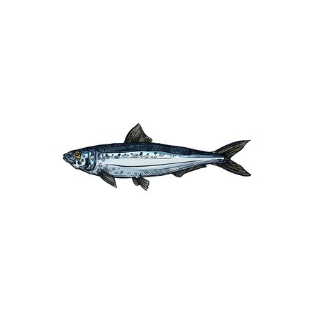 Herring or sardine saltwater fish isolated animal. Vector pilchard oily forage small epipelagic fish in herring Clupeidae. Sardina, bluefin marine animal, cold blooded saltwater aquatic habitat