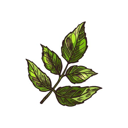 Angelica culinary herb isolated hand drawn leaves. Vector seasoning plant wild Angelica sylvestris, garden angelica archangel angelique. Branch of flavoring stem with leaf kitchen herb vegetarian food