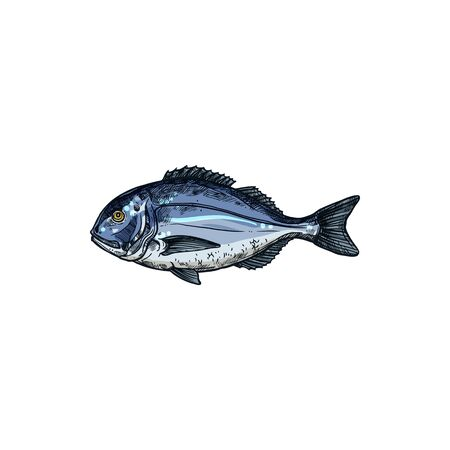 Orata gilt head bream isolated saltwater fish sketch. Vector underwater animal with flounders, seafood. Orata or Dorada fish of bream family Sparidae found in Mediterranean Sea, seam bream