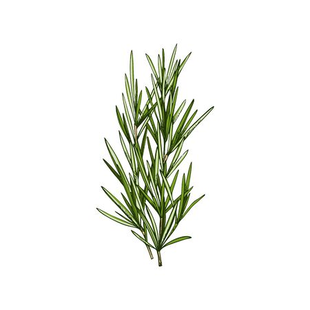 Rosemary or lemongrass isolated culinary herb. Vector Salvia rosmarinus, woody, perennial herb with fragrant, evergreen, needle-like leaves. Herbal seasoning, kitchen condiment, Rosmarinus officinalis Illustration