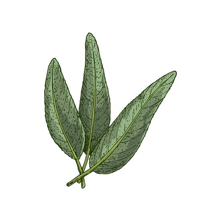 Salvia or sage leaves isolated sketch. Vector Garden culinary sage, spicy flavored seasoning condiment greens. Salvia officinalis with aromatic foliage, green kitchen herb hand drawn leaf Ilustracja
