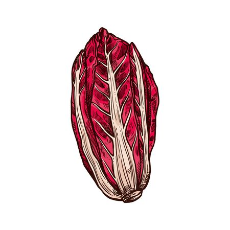 Radicchio with white-veined red leaves isolated sketch. Vector Italian chicory leafy vegetable, raw vegetarian food. Salad ingredient, hand drawn radicchio cabbage, organic healthy veggies