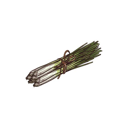 Scallion, young spring onion isolated green plant hand drawn sketch. Vector Chives raw organic vegetable, shallot leaves in bunch. Young leek veggie flavoring vegetarian food, aromatic spicy greens