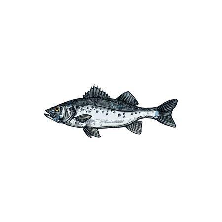 Barred sand bass isolated sea fish, potato cod sketch. Vector redbanded perch hand drawn seafood, marine underwater aquatic animal. Barred sand bass, potato cod Serranus cabrilla, Caprodon fish