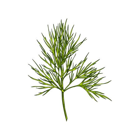 Fennel or dill herb isolated leafstalk branch hand drawn sketch. Vector green aromatic flavorful stem used in cookery, perennial green plant, annual herb in celery family Apiaceae, flavouring food Иллюстрация