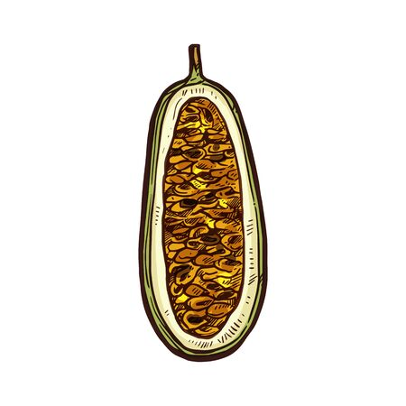 Kuruba fruit vector sketch cut section. Exotic tropical kuruba or banana passionfruit fruit