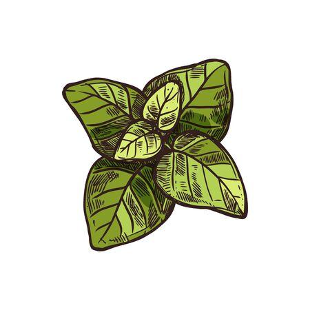 Green marjoram sketch isolated culinary green herb. Vector Origanum majorana hand drawn, Cretan oregano, Hardy French spice. Sweet marjoram perennial plant, fresh kitchen herb and garnish, seasoning