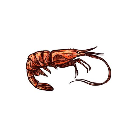 Prawn shrimp isolated vector shellfish crustaceans. Palaemon serratus or Crangon crangon, appetizer snack, red cooked boiled tiger sea shrimp. Seafood, underwater marine animal with long whiskers