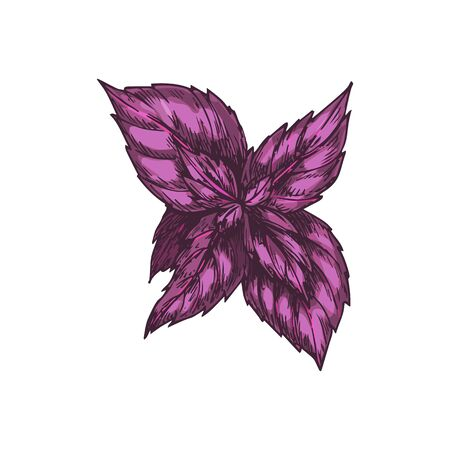 Red rubin basil leaves isolated sketch. Vector dark opal basil, culinary herb. Aromatic condiment, cultivar of Ocimum basilicum sweet basil. Plant with reddish-purple leaves, vegetarian food