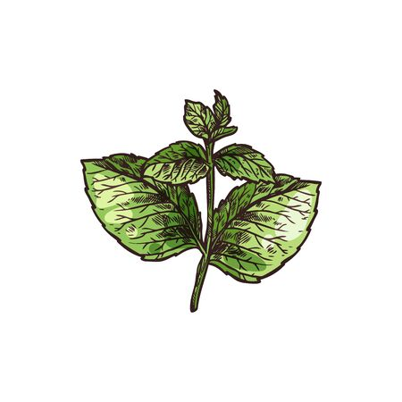 Melissa isolated green leaves sketch. Vector culinary herb, lemon balm mint, perennial plant. Melissa officinalis kitchen herb, organic flavoring plant, aromatic fragrant spice. Mint mentha stem, leaf Ilustracja