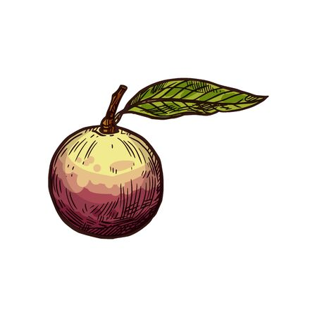 Star apple fruit vector sketch isolated icon. Exotic tropical apple fruit Illustration