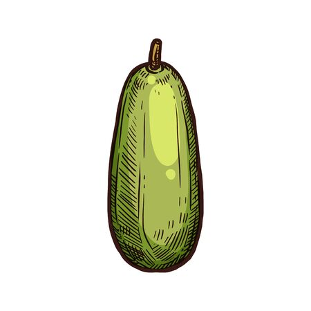Kuruba fruit isolated hand drawn sketch. Vector tropical fruit, whole tahoe plant. Vegetarian food, tropical tasty dessert with seeds. Banana passionfruit whole edible curuba grown in South America Illustration