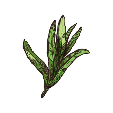 Sage leaves isolated kitchen herb monochrome sketch. Vector common Salvia officinalis garden culinary seasoning. Tarragon aromatic foliage, spicy flavored green leaves, hand drawn scented leaf