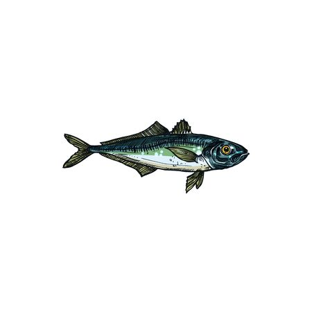 Bluefish mascot isolated tuna fish realistic sketch. Vector horse mackerel with flounders, fishing sport emblem, bluefish thunnus. Scombridae saltwater fish, aquatic animal, atlantic sardine Çizim