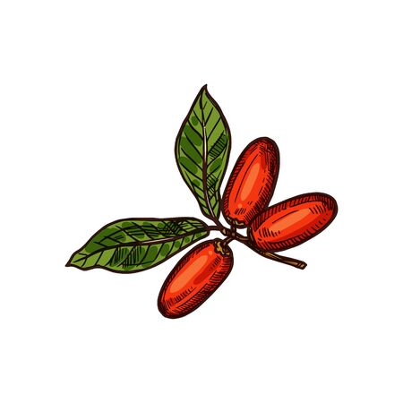 Miracle fruit vector sketch isolated icon. Exotic tropical miracle fruit berries