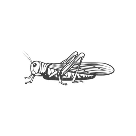 Locust or grasshopper insect outline isolated vector illustration, monochrome tattoo, pest control icon,